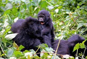 Gorillas in Uganda
