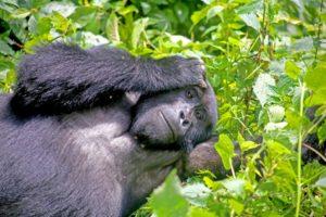 Bwindi gorilla trekking experience