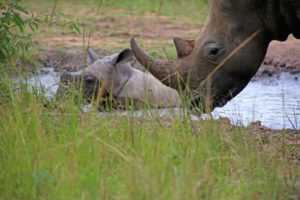 Visit Ziwa rhino sanctuary on your way to Murchison falls national park
