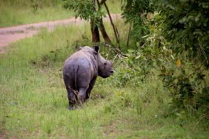 Rhino trekking and tracking at Ziwa Rhino sanctuary