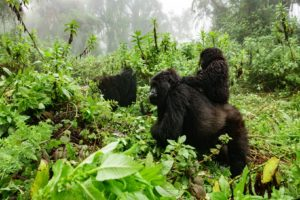 Mgahinga Gorilla National Park tours