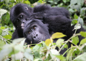 Mountain gorillas at Bwindi National park Uganda