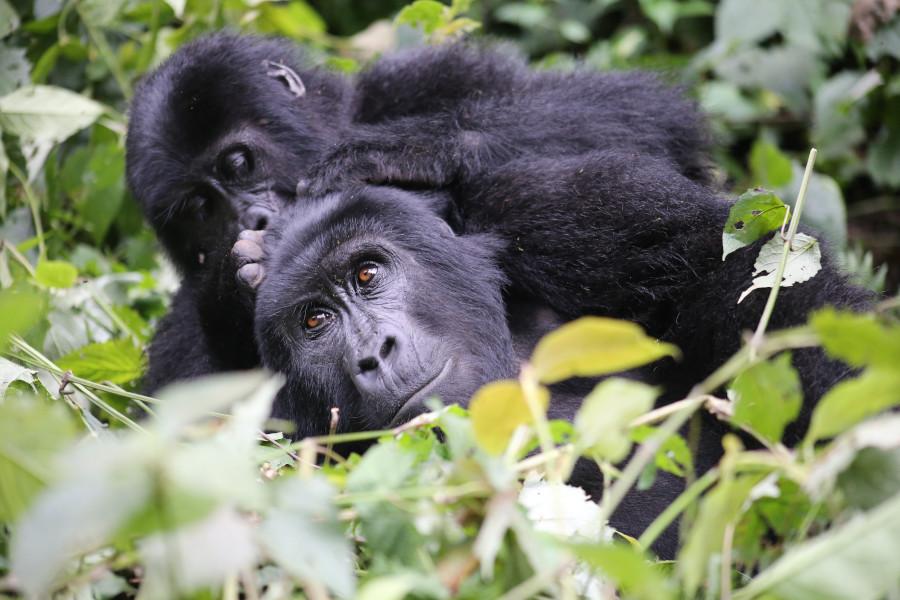 Mountain gorillas at Bwindi National park Uganda