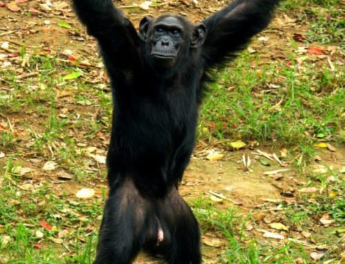 Uganda's oldest chimpanzee Zakayo is dead