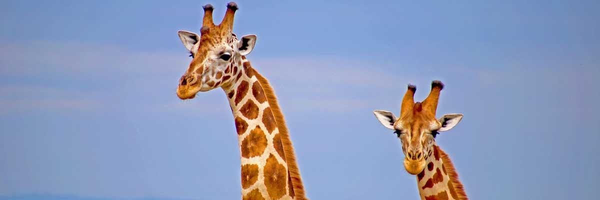 Giraffes at Muchison falls National park