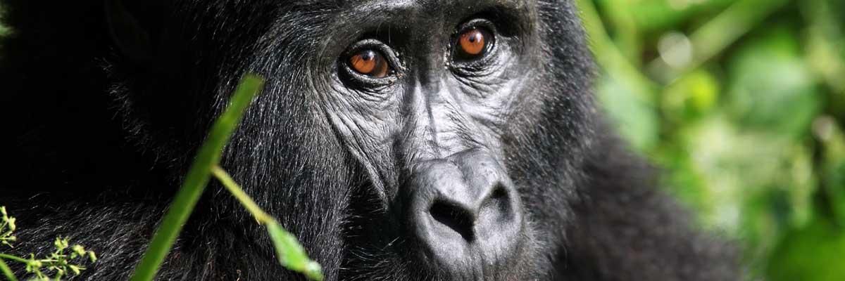Gorilla at Bwindi Impenetrable National park