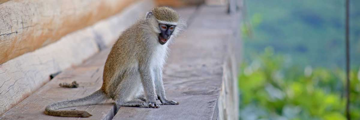 Golden monkeys in Africa