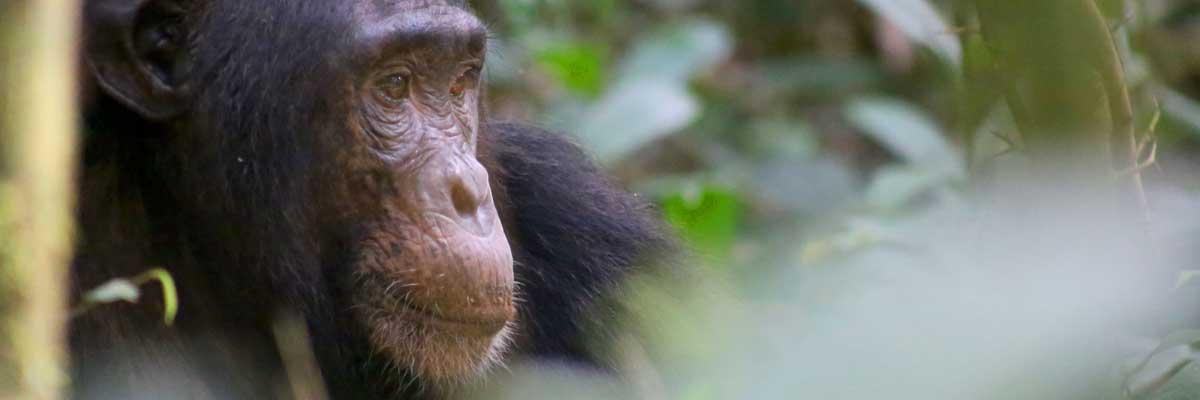 Chimpazzee safaris