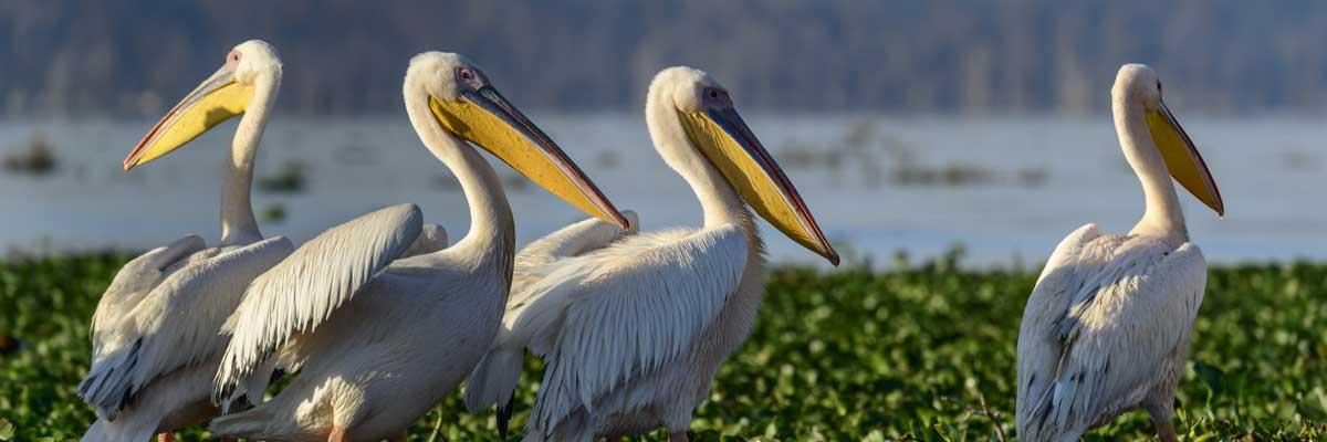 Flamingos at Lake Mburo national park