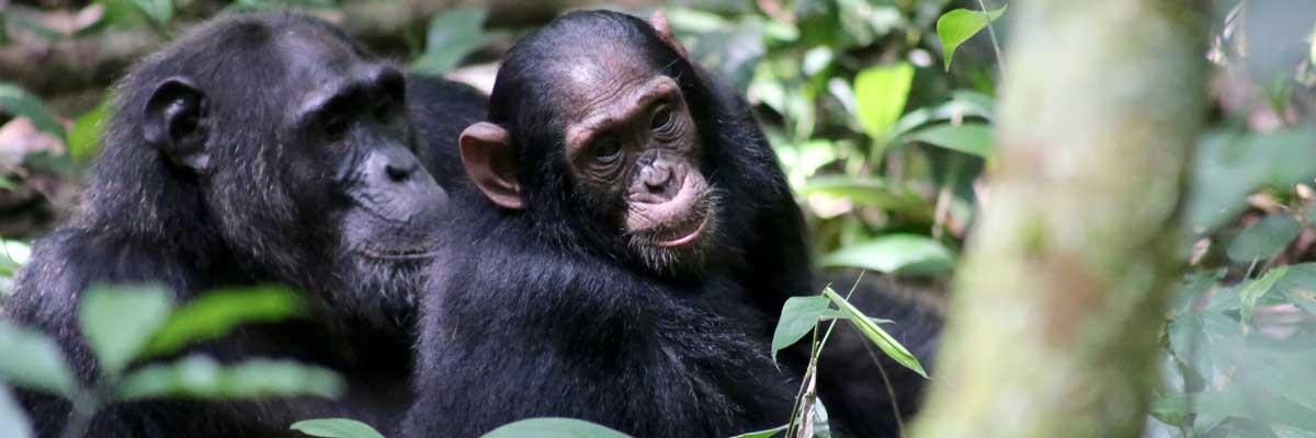Primates at Kibale National park