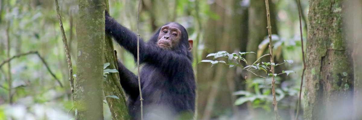 Chimpazze at Kibale National park