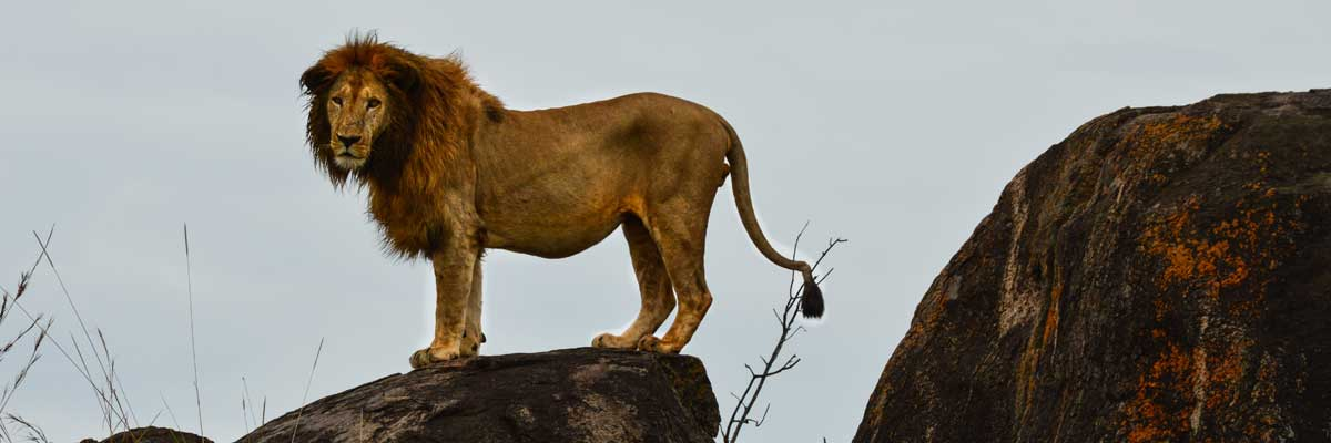 Lions at Kidepo National park