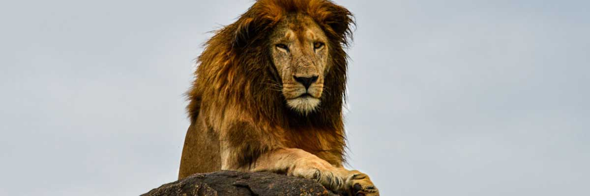 Wild Africa-Lions