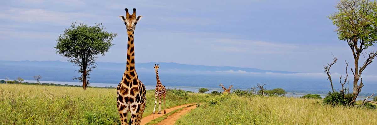 Wild Africa-Giraffes