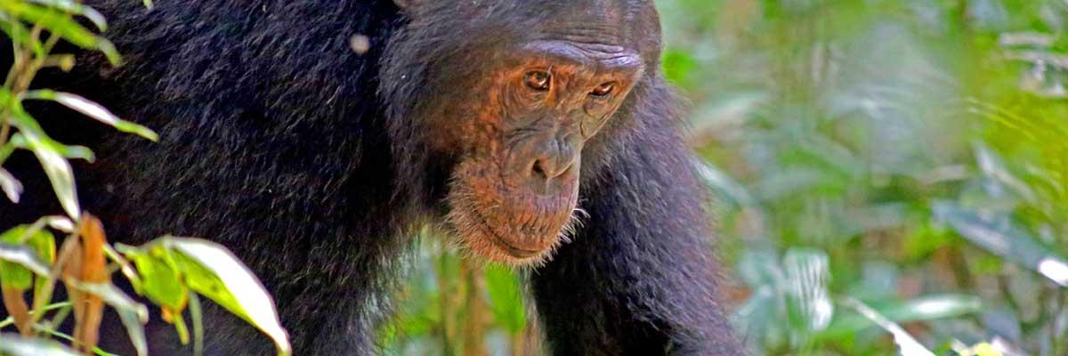 Wild Africa-Chimpazzes