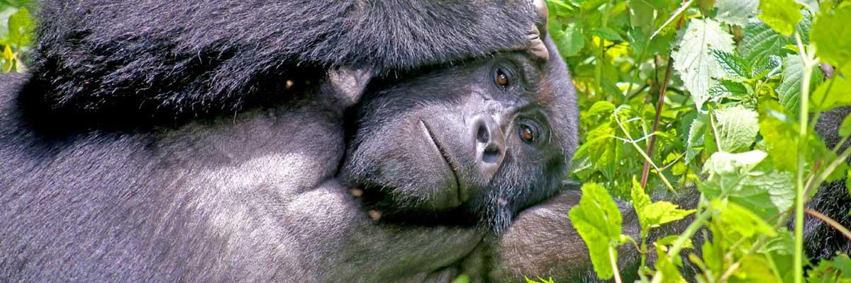 Gorilla experiences in Uganda