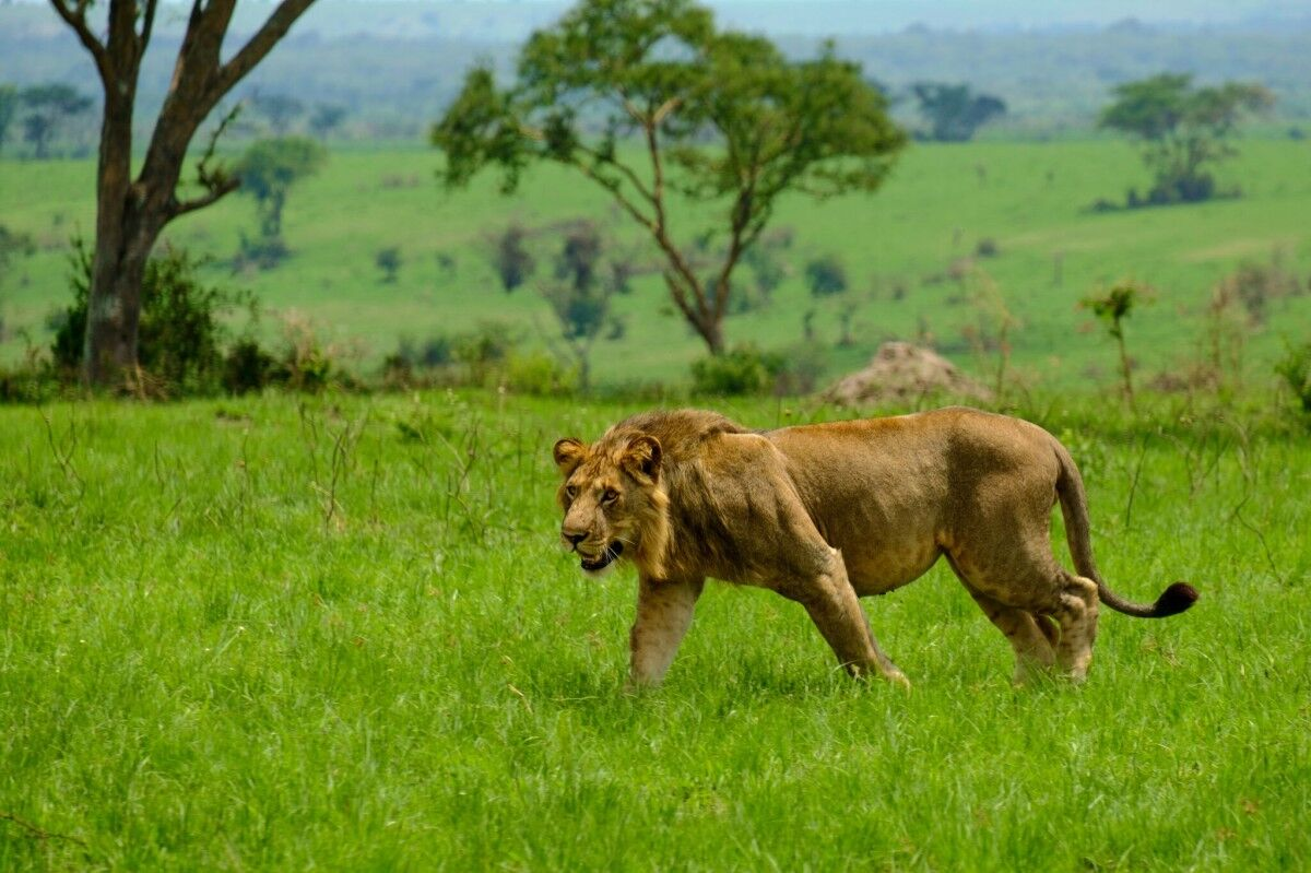 Visit Uganda or the big five safaris