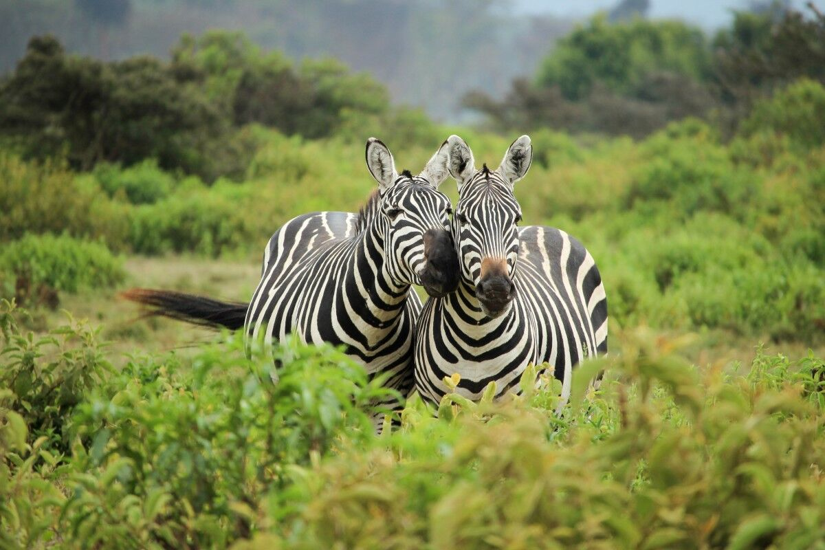 Zebras in Uganda's national parks