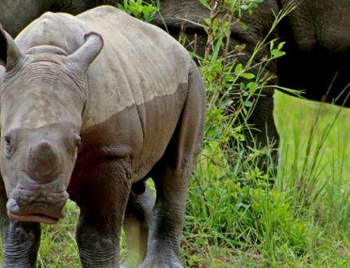 New Rhino born at Ziwa Rhino Sanctuary