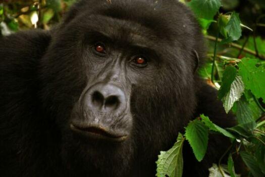 Primate safaris in Uganda