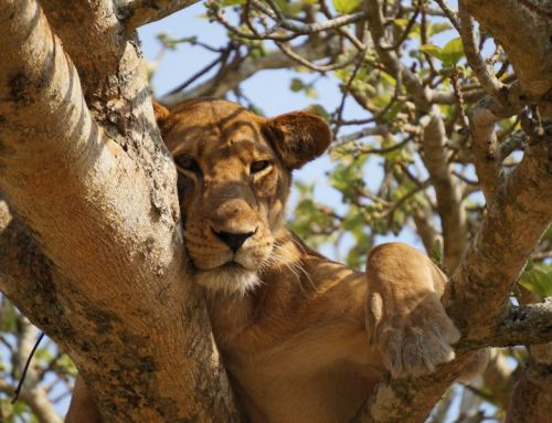 Uganda Wildlife Education Center(UWEC) welcomes 2 baby lions