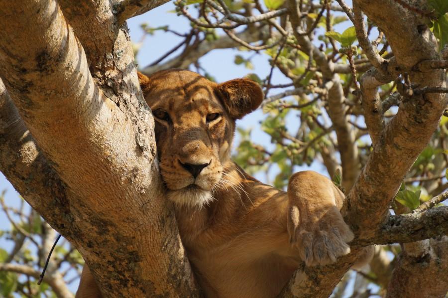 Big five safari in Uganda