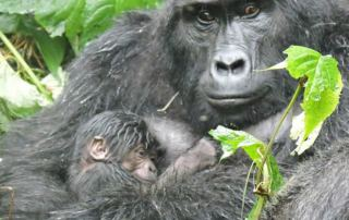 New baby gorilla born at Bwindi impenetrable national park