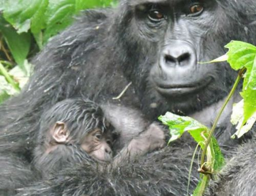 BWINDI GORILLA FAMILY HAS A NEW BABY GORILLA