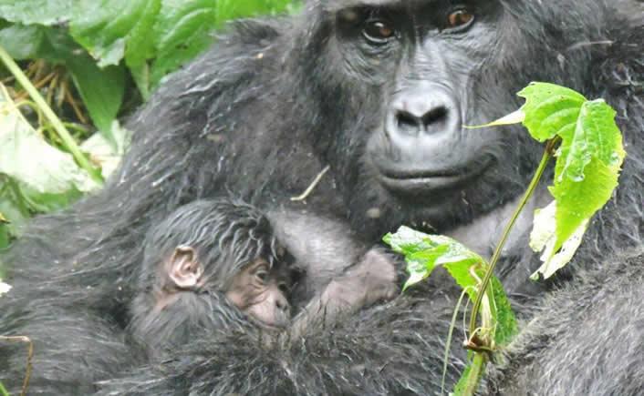New baby gorilla born at Bwindi impenetrable national park