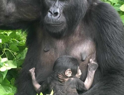 New baby gorilla born from Rushegura Gorilla family