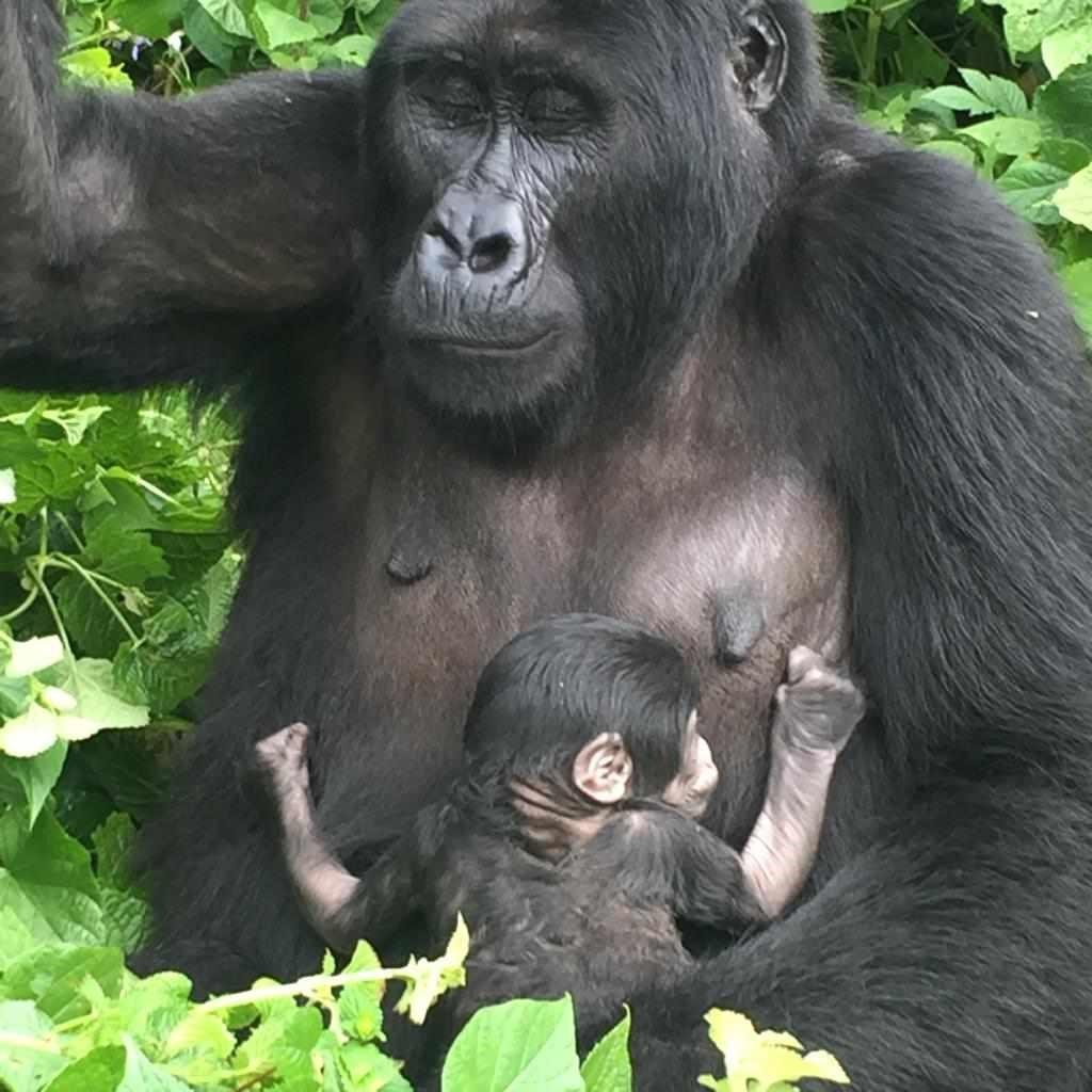 Mountain gorilla trekking at Bwindi impenetrable national park